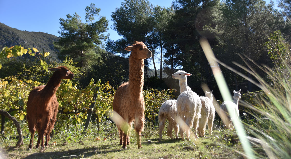 Alpacas can marlès